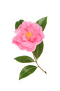 Magenta camellia flower and foliage isolated against white Stock Images