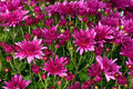 Magenta chrysanthemum bright over green background Stock Photo