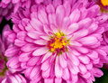 Magenta chrysanthemum bright with yellow core close up Stock Photos
