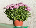 Magenta chrysanthemum flowerpot on grey rough wall background Royalty Free Stock Photo