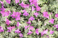Magenta of flower nature background Royalty Free Stock Photos