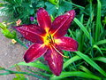 Magenta Gloriosa Liliy in Denver, Colorado Royalty Free Stock Photo