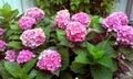 Magenta Hydrangea Royalty Free Stock Photo