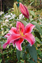 Magenta lily blossom in full bloom on tree in the park Royalty Free Stock Photos