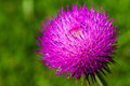 Magenta macro shot of a vibrant thistle flower Stock Images