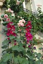 Magenta pink hollyhocks and pink climbing roses Royalty Free Stock Photo