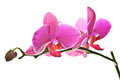 Magenta Pink Orchid on White Stock Images