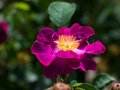 Magenta rose beautiful in the garden Royalty Free Stock Photos
