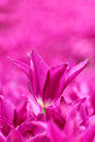 Magenta tulips blur background Stock Photo