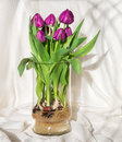 Magenta tulips growing in water in a glass vase - bulbs and root