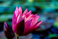 Magenta water lily with blue-green background