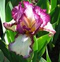 magenta and white bearded iris