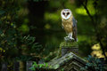 Magic bird barn owl, Tito alba, sitting on stone fence in forest cemetery Royalty Free Stock Photo