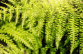 Magic Fern Royalty Free Stock Photo