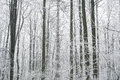 Magic foggy and frozen winter forest scene. Misty landscape back Royalty Free Stock Photo