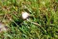 Magic Mushroom Liberty Cap Royalty Free Stock Photo