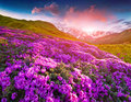 Magic pink rhododendron flowers in the mountains. Summer sunrise Royalty Free Stock Photo