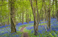 Magical forest and wild bluebell flowers Royalty Free Stock Photo