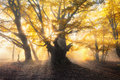 Magical old forest with sun rays. Amazing trees in fog Royalty Free Stock Photo