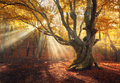 Magical old tree. Autumn forest in fog with sun rays Royalty Free Stock Photo