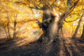 Magical old tree with sun rays in the morning Royalty Free Stock Photo