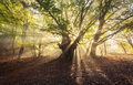Magical old tree with sunrays in the morning. Foggy forest Royalty Free Stock Photo
