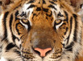 Magnificent bengal tiger, thailand, asia cat lion Royalty Free Stock Image
