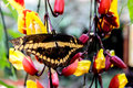 Magnificent and colorful butterfly from the Amazon rain forest of Ecuador Royalty Free Stock Photo