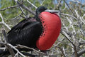 Magnificent frigatebird balloon display, Galapagos Royalty Free Stock Photography