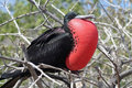 Magnificent frigatebird balloon display, Galapagos Royalty Free Stock Photos