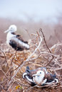 Magnificent frigatebird chicks at galapagos island of north seymour Stock Photos