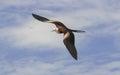 Magnificent frigatebird fregata is a pelecaniformes bird in the family fregatidae Stock Photos