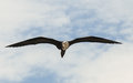 Magnificent frigatebird magnificens fregata is a pelecaniformes bird in the family fregatidae Stock Photography