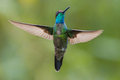 Magnificent Hummingbird in Costa Rica Royalty Free Stock Photo