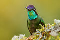 Magnificent Hummingbird, Eugenes fulgens, nice bird on moss branch. Wildlife scene from nature. Jungle trees with small animal. Hu