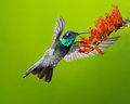 Magnificent hummingbird with flowers feeding on nectar in flight Royalty Free Stock Images