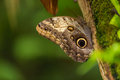 Magnificent owl caligo eurilochus sulanus butterfly on green nature background close up Royalty Free Stock Images