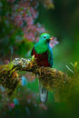 Magnificent sacred green and red bird. Birdwatching in jungle. Beautiful bird in nature tropic habitat. Resplendent Quetzal, Pharo Royalty Free Stock Photo