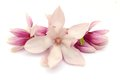 Magnolia blooms on white background Stock Images