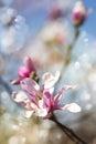Magnolia blossom. Flowers background.