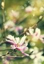 Magnolia blossom. Vintage flowers background.