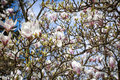 Magnolia blossoms in spring Royalty Free Stock Photo