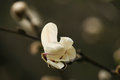 Magnolia bud. Royalty Free Stock Photo