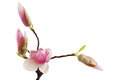Magnolia Bud Flower Royalty Free Stock Photo