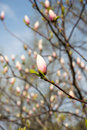 Magnolia buds. Branches of a magnolia Royalty Free Stock Photo