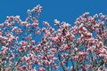 Magnolia buds and flowers in bloom. Detail of a flowering magnolia tree against a clear blue sky. Large, light pink spring blossom