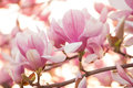 Magnolia close up of blossom tree Royalty Free Stock Photo