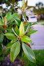 Magnolia denudata tree and flower bud Royalty Free Stock Photo