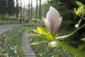 Magnolia flower in keukenhof garden Stock Image