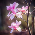 Magnolia flower in the park at springtime opening on dark background Royalty Free Stock Images